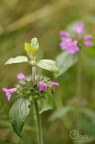 Clinopode commun (Sariette commune, Grand Basilic) - Clinopodium vulgare
