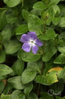 Grande pervenche - Vinca major L.