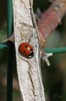 Coccinelle à sept points - Coccinella septempunctata
