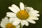 Thomise variable - Misumena vatia