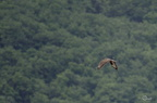 Buse variable - Buteo buteo