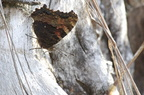 Robert-le-Diable - Polygonia c-album